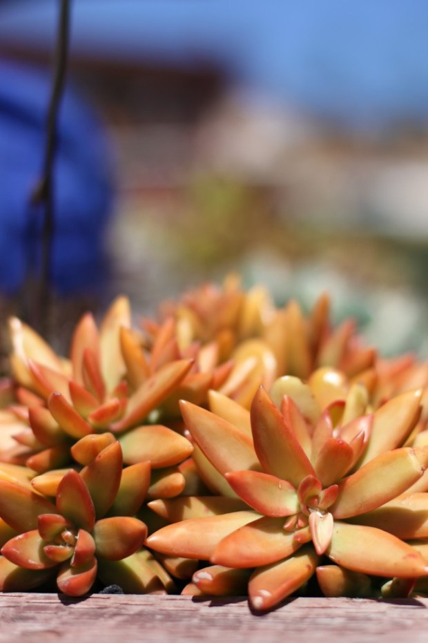 Succulents come in many colours