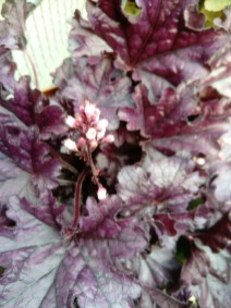 Heuchera 'Forever Purple' '