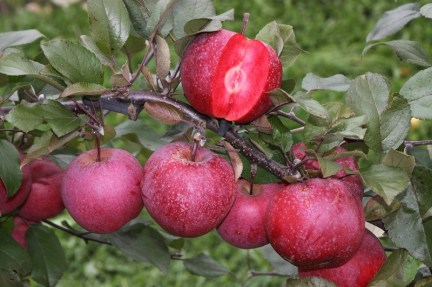 Apple Tickled pink has red flesh!