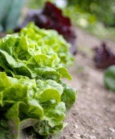 Grow your own lettuce all summer