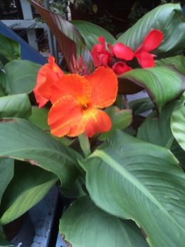 Canna lily from just