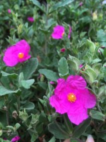 Cistus in bloom. Large chunky plants £34.99 each