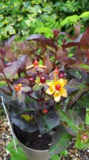Hypericum 'Miracle night'