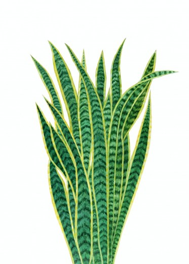 Snake plants are good for cleaning the air and are easy to grow