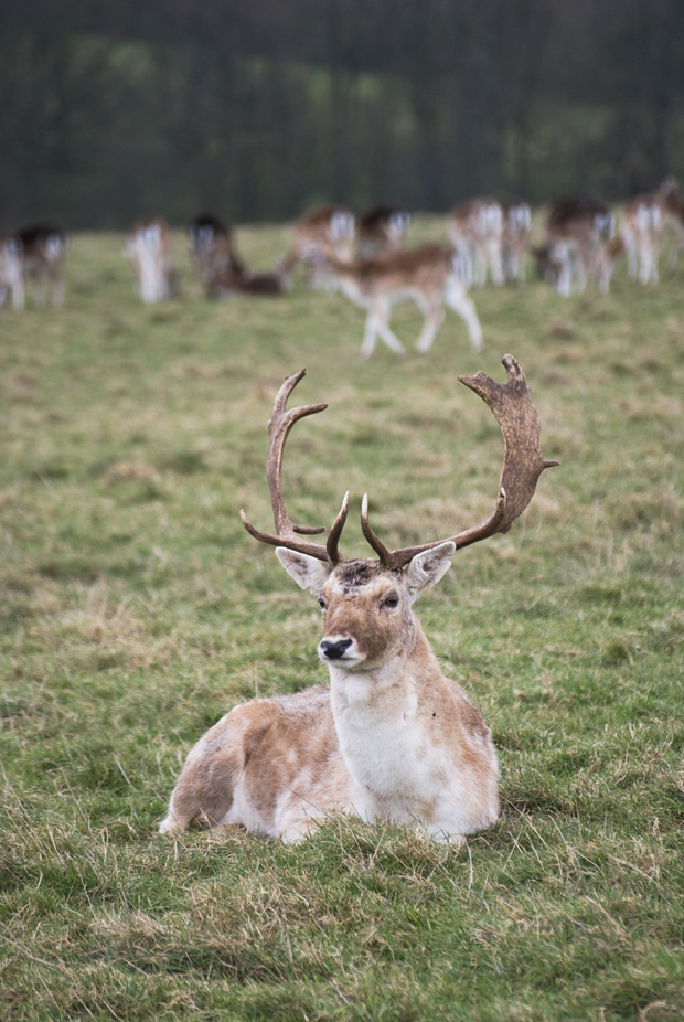A walk among the deer at Dyrham Park | These Four Walls blog