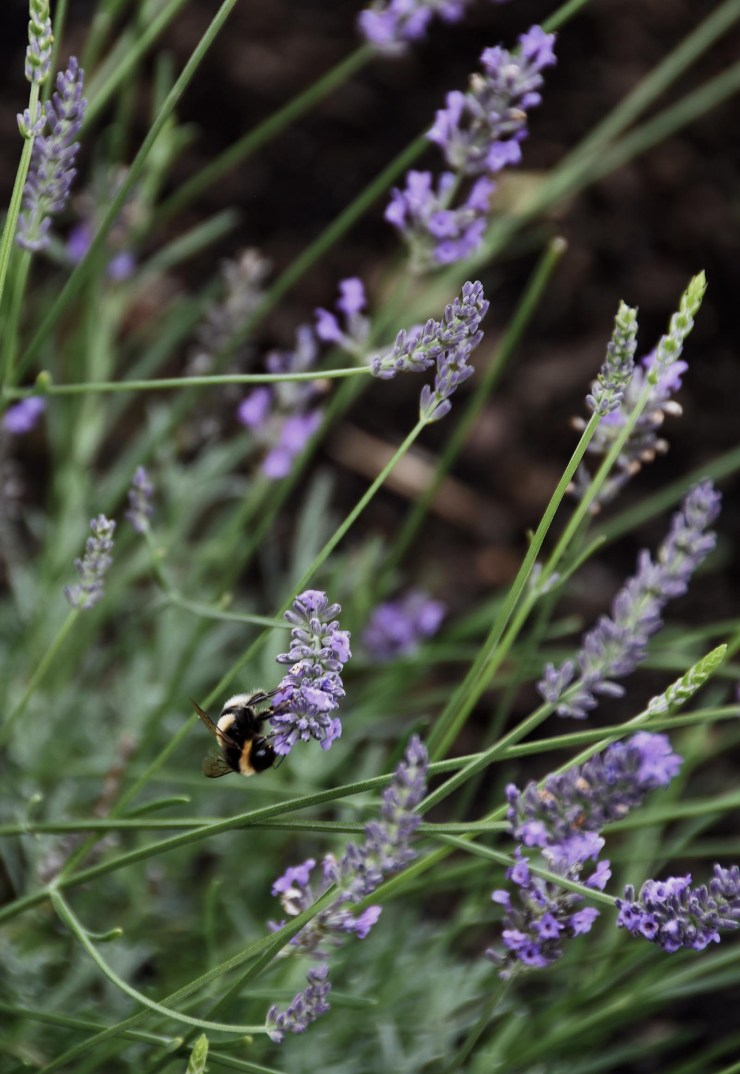 Bumble bee among lavender   'The Edit' - tending the garden   These Four Walls blog