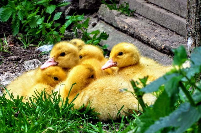 Ducklings - Raising Ducks for Meat - The Self Sufficient HomeAcre