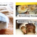 How to Hatch Chicken Eggs in an Incubator