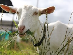Getting My Goat - The Self Sufficient HomeAcre