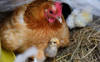 broody hen with chick