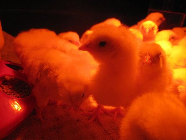 Baby Chicks under heat lamp