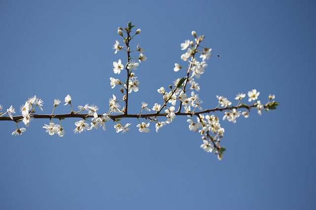 fruit tree flowering