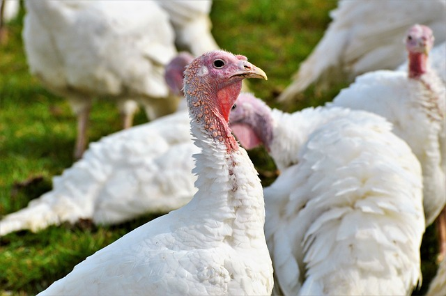 Choosing turkey breeds - Broad Breasted White turkeys