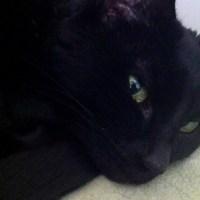 declawed black cat
