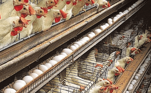 Layer Poultry Farming2