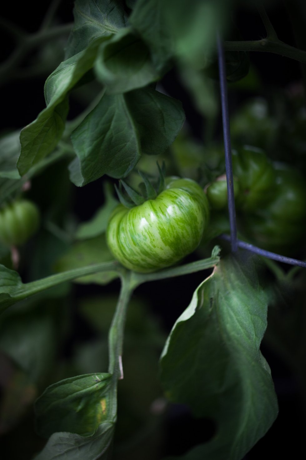 the simple green - heirloom tomato