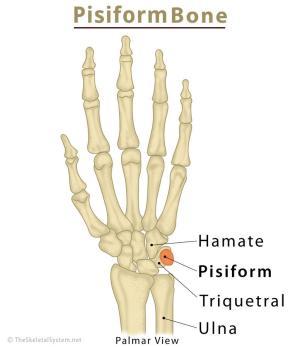 Pisiform Bone Definition, Location, Anatomy, Functions, & Diagram | The Skeletal System