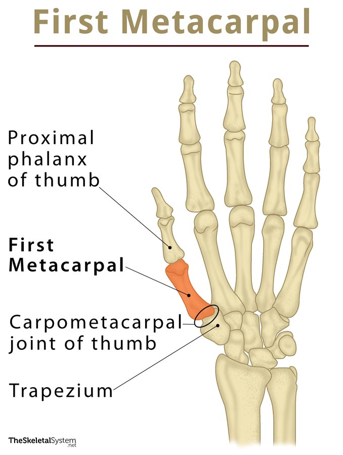 Proximal Anatomy Definition - Anatomy Drawing Diagram