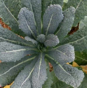 Tuscan kale for flavor and striking foliage