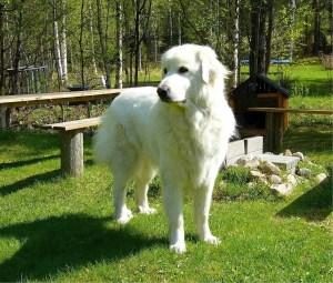 female Pyrenees Dog
