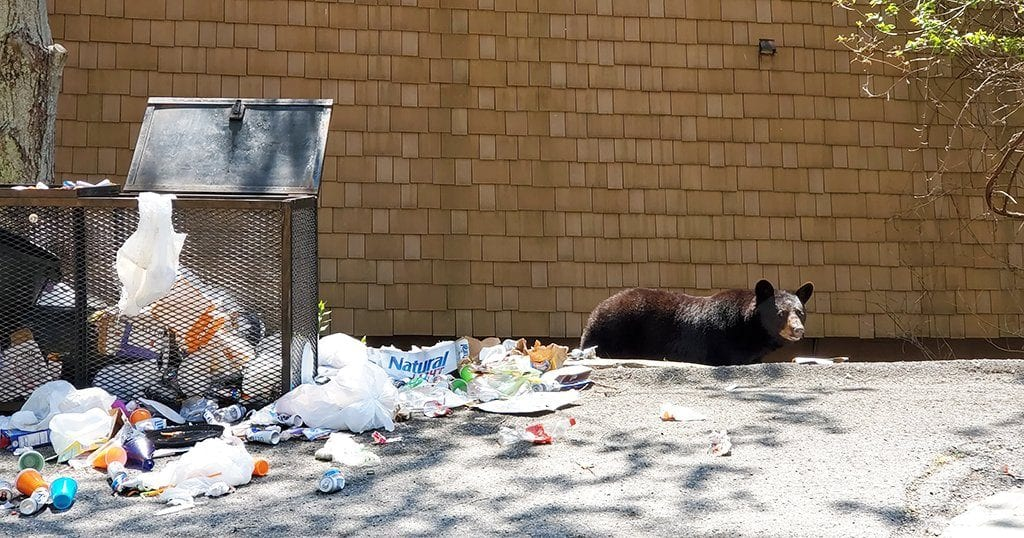 Black bear getting in the trash in the Smoky Mountains