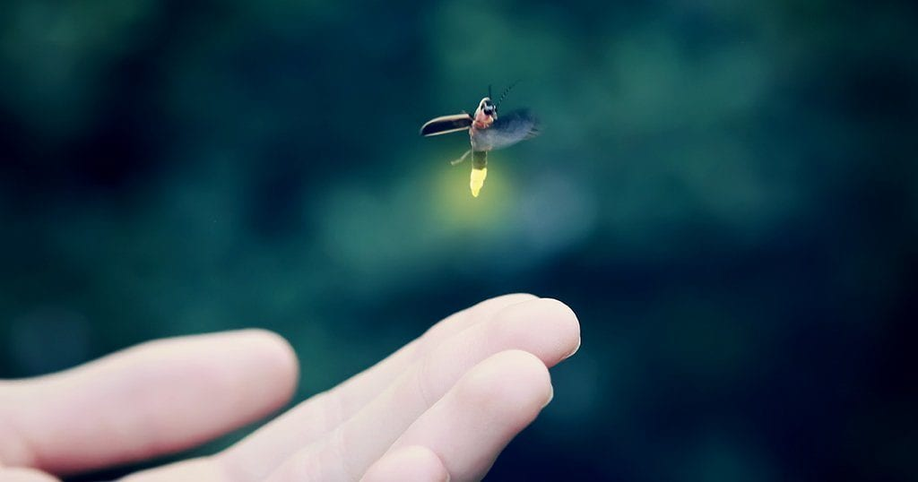"""Synchronous fireflies are commonly known as """"lightning bugs""""."""