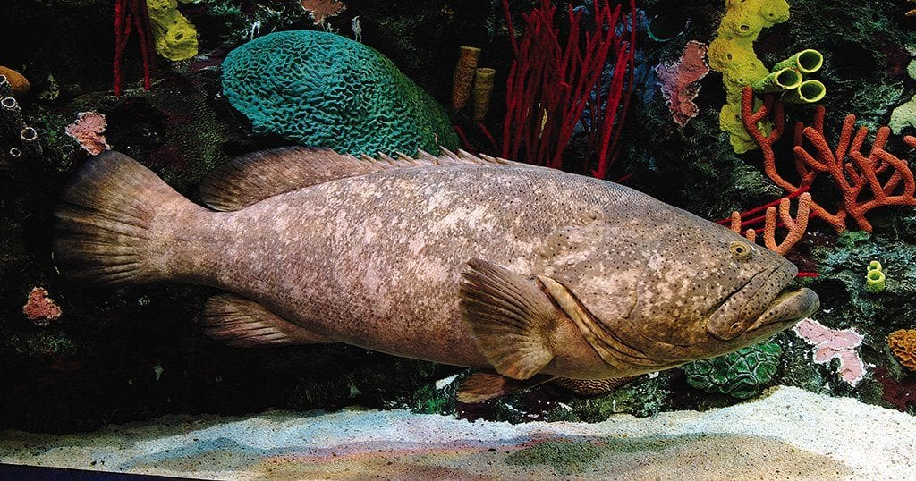 That giant fish in that one tank. (photo courtesy of Ripley's Aquarium of the Smokies)