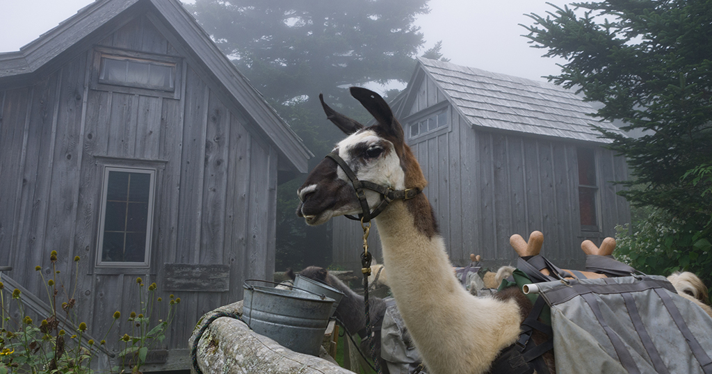 Llama at Mt LeConte in the Great Smoky Mountains National Park