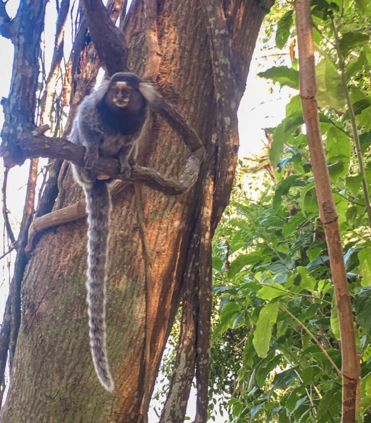 Marmoset monkeys whom you can frequently spot on the hike to Morro da Urca mountain