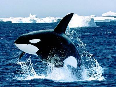Killer whale - smarter than the average shark.