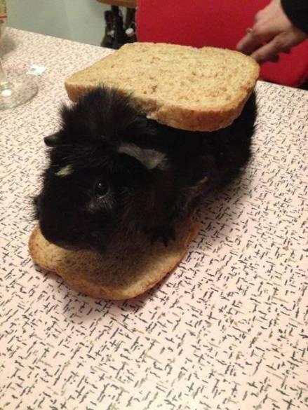 punk band guinea pig