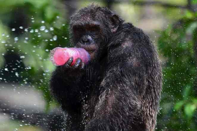 chimp drinking