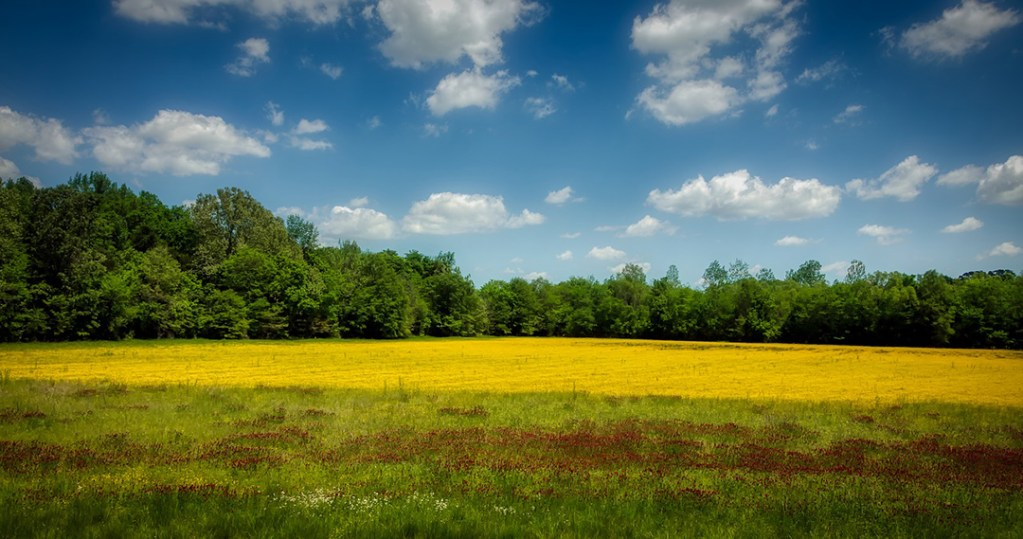 Yellow fields and white clouds on a sunny day.