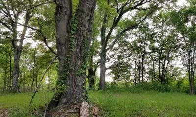 An oak tree in the woods.