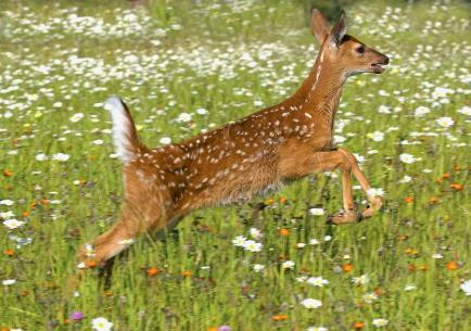 white-tailed-deer-fawn-in-field-of-john-pitcher