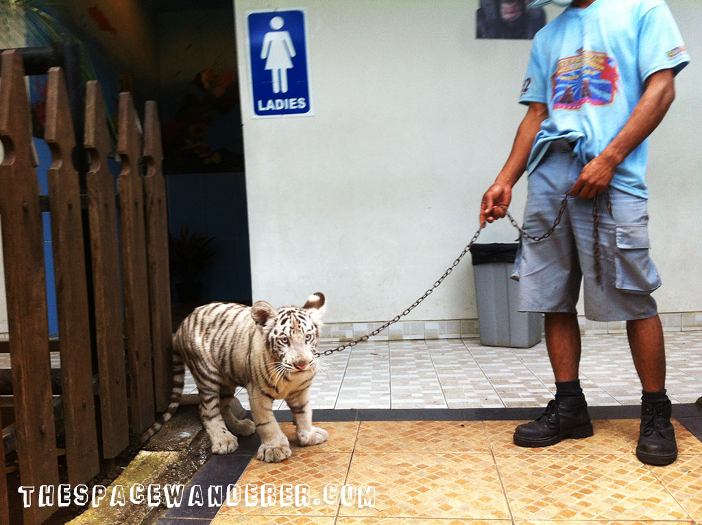 malang-015-batu-secret-zoo-white-tiger