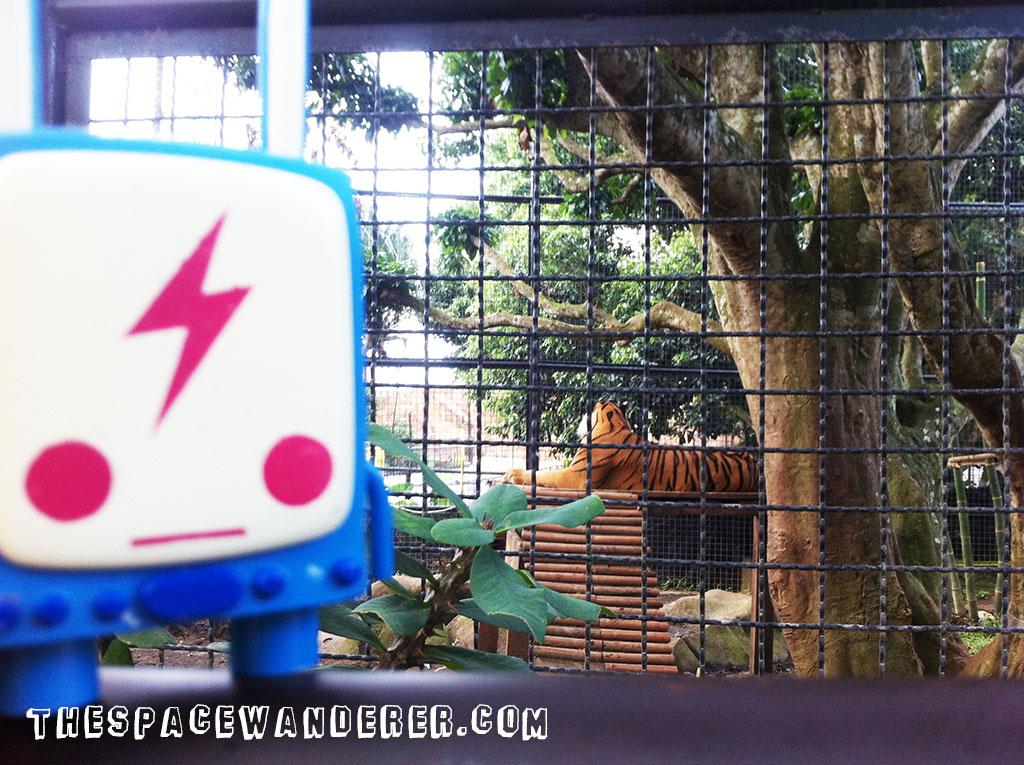 malang-016-batu-secret-zoo-harimau-sumatera