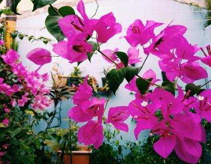 Bunga berwarna magenta