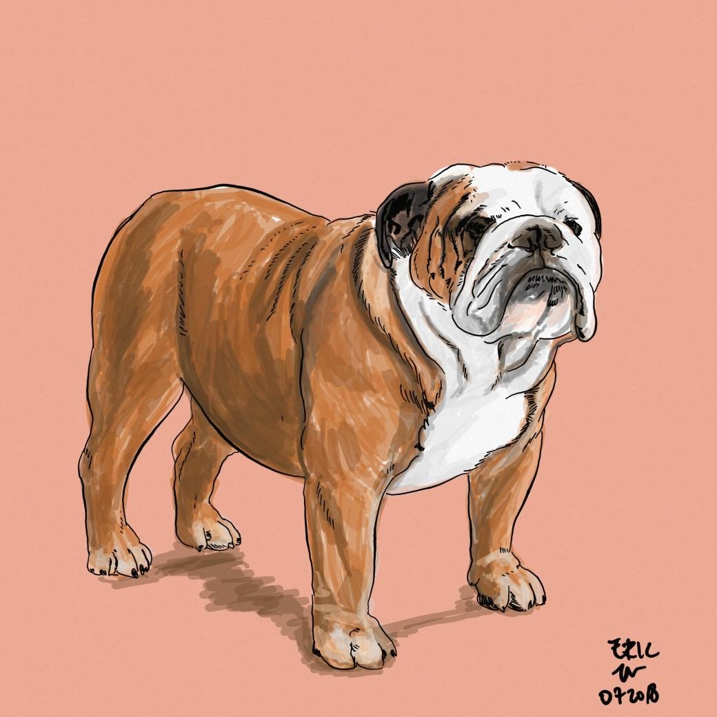 Gambar anjing bulldog