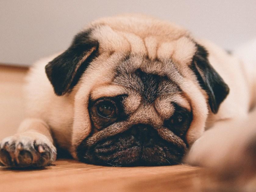 Benjo the Pug