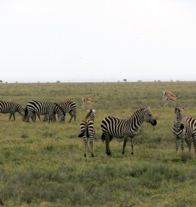 Zebra in Grassland of Tanzania