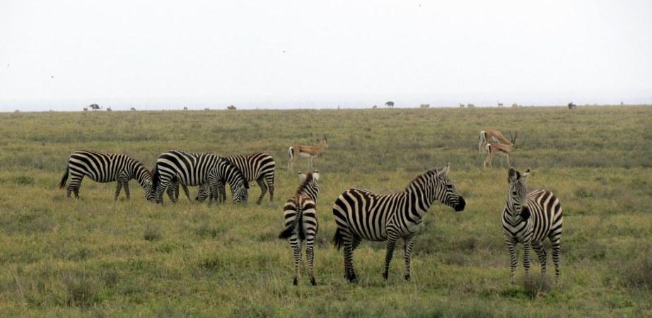 Zebra in Grassland of Tanzania