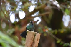 A little hummingbird dries out after the rain.