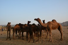 Camel herd with babies