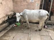 Guilty looking cow