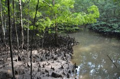 Mangroves at low tide