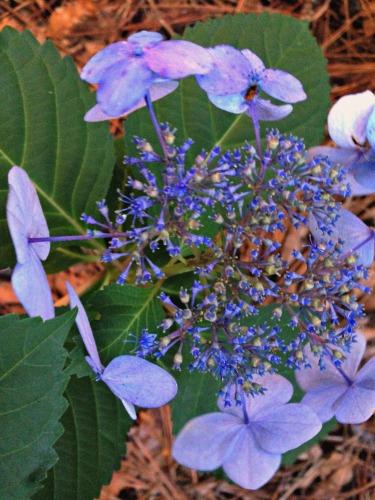 bluehydrangea