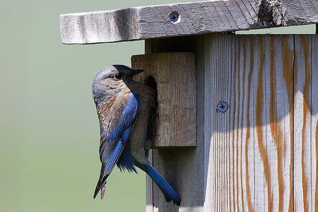 Free Plans for Building a Bluebird House Western Bluebird at a House