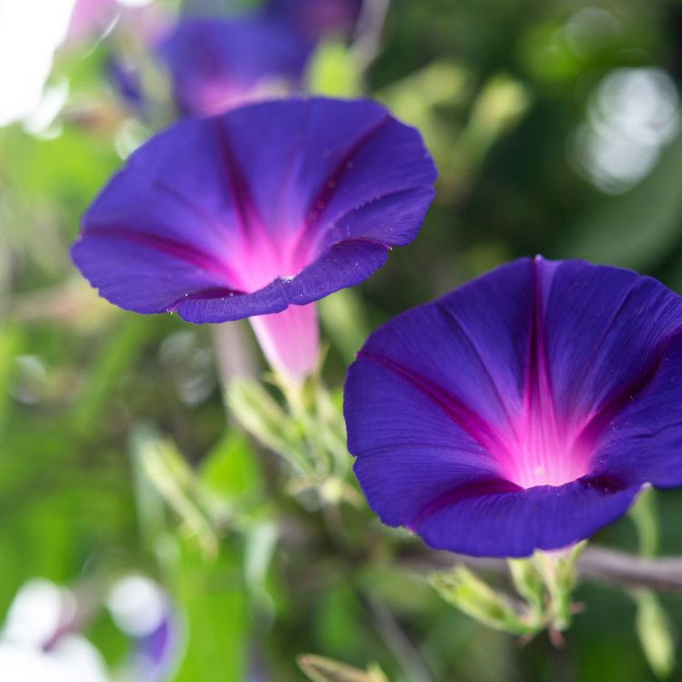 Morning Glory: Plant Care & Growing Guide