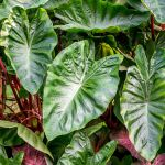 How To Grow Elephant Ears Xanthosoma In Your Garden